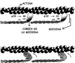 Complejo Actina-Miosina